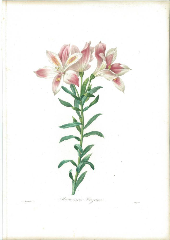 Eau-Forte Redouté - Alstroemeria Pelegrina