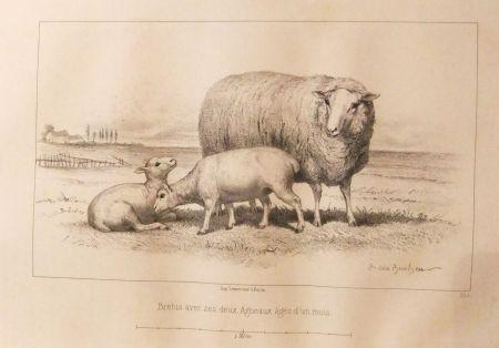 Livre Illustré Bonheur - Considérations sur les bêtes à laine au milieu de XIXe siècle, et notice sur la race de la charmoise
