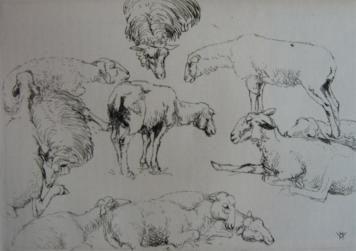 Gravure Vergé-Sarrat - Etudes de moutons / Studies of Sheep