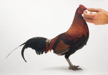 Multiple Vanmechelen - Feeding Chicken