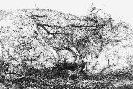 Eau-Forte Barbisan - Il castagno morto