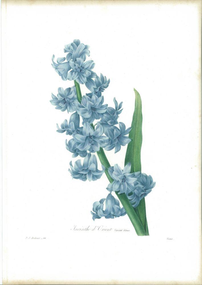 Eau-Forte Redouté - Jacinthe d'orient (variété bleue)