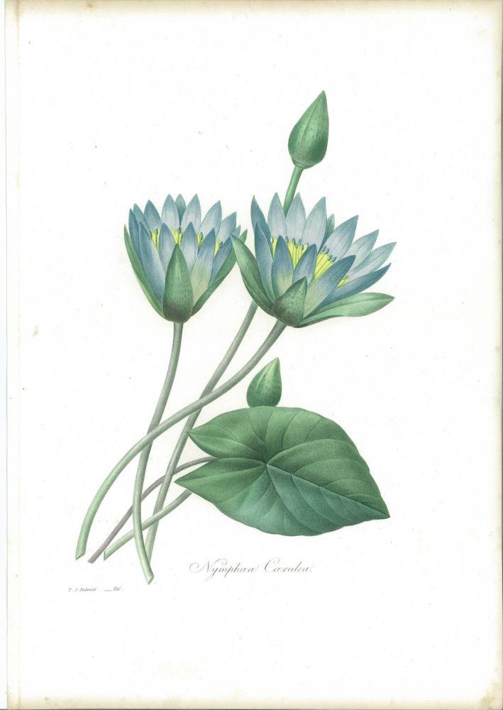 Eau-Forte Redouté - Nymphæa Cærulea