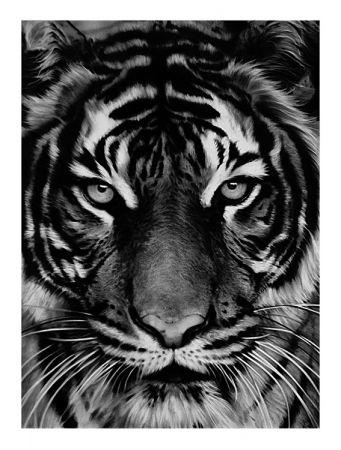 Manière Noire Longo - Tiger